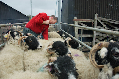 Caption-Addicted-to-Sheep-Tom-Hutchinson
