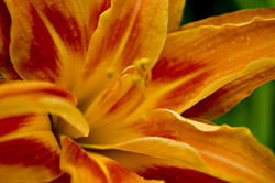 A photograph of an orange-yellow lily in close-up
