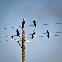 This image is called Fisherman's Rest. It was found at Mark Robinson's Flickr photostream and is used under the terms of the Creative Commons Attribution 2.0 Generic license. The image is a photo of a weathered timber telegraph pole against a blue sky. The pole supports three cables and there are five seabirds (cormorants?) perched on the wires.