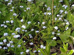 Forget me nots (small).JPG