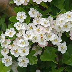 This image is called Hawthorn Blossom. It was found at David Wright's Flickr photostream and is used under the terms of the Creative Commons Attribution 2.0 Generic license. The image is a close-up colour photo of hawthorn blossoms on the branch.