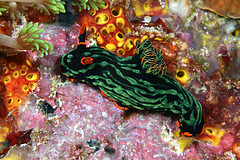Nudibranch.jpg