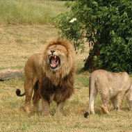 Pair_of_lions_v2