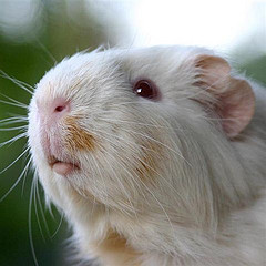 Close up photo of the face of a pretty white guinea pig